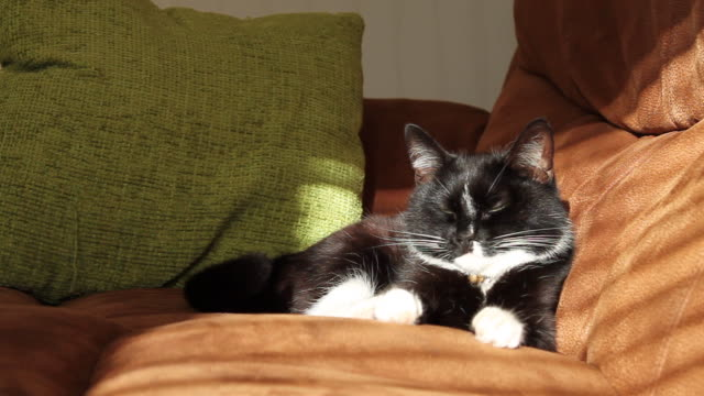 cute black and white cat blinking at camera - cat blinking stock videos & royalty-free footage