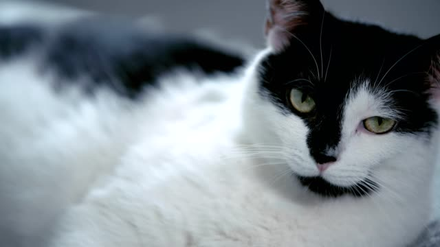 Cute black and white cat looking at camera
