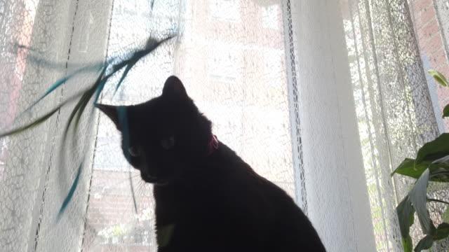 かわいい黒猫は羽で遊ぶ - 黒猫点の映像素材/bロール