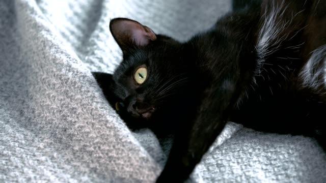 ふわふわのおもちゃで遊んでかわいい黒猫 - 黒猫点の映像素材/bロール