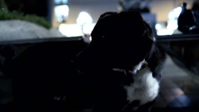 Sexy black Hund