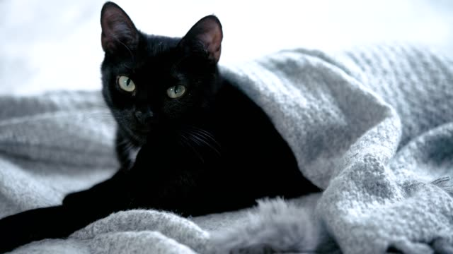 Cute, black kitty lying on bed wrapped in blanket