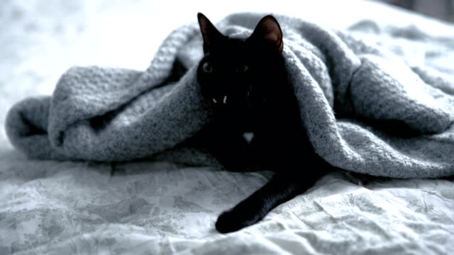 cute, black kitty lying on bed wrapped in blanket. yawning - blanket texture stock videos and b-roll footage