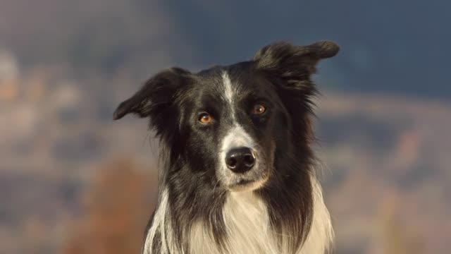 cute border collie looking at camera - animal head stock videos & royalty-free footage