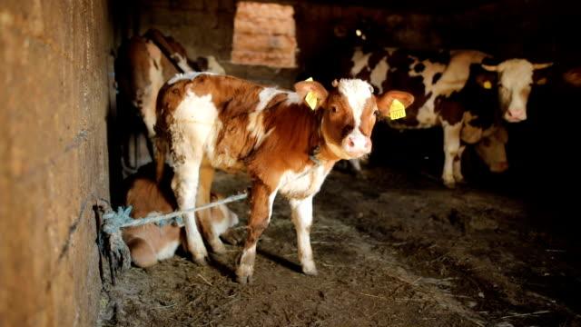 Cute brown calf in the barn