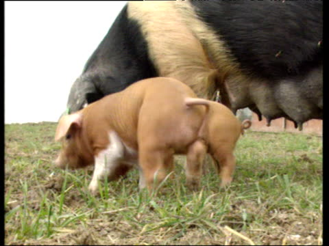 Cute brown piglet stares at camera mother pig in background UK
