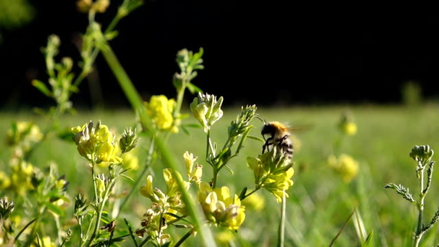 Cute Bumblebee in high quality slow motion