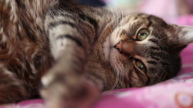 cute cat laying down - cat blinking stock videos & royalty-free footage