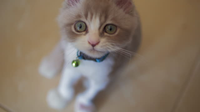 cute cat licking lips - domestic animals stock videos & royalty-free footage