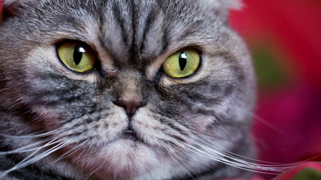 cute cat lies on a red blanket. - laziness stock videos and b-roll footage