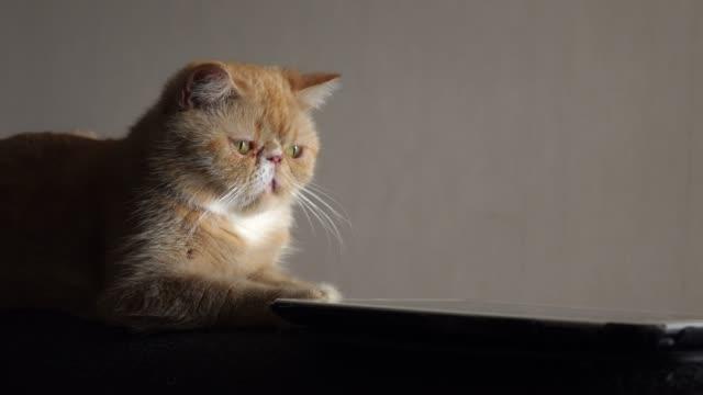 stockvideo's en b-roll-footage met 4k: cute cat spelen digitale tablet - softfocus