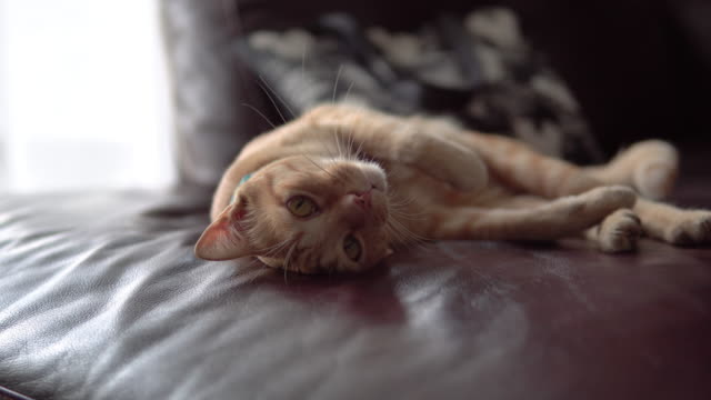 cute cat resting on a sofa. - sdraiato video stock e b–roll