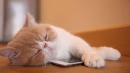 Cute cat sleep with smart phone