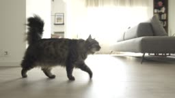 Cute cat walking around in the house