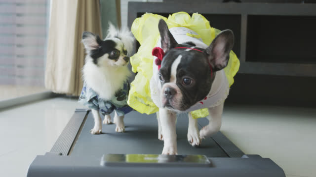 cute chihuahua and french bulldog  with costume walking on a treadmill at home - costume stock videos & royalty-free footage