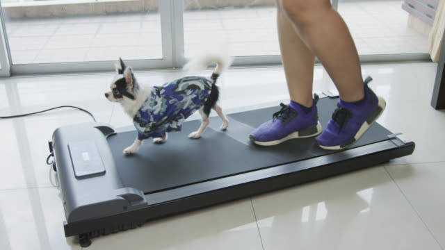 cute chihuahua dog and woman get exercise on a treadmill at home - exercise machine stock videos & royalty-free footage