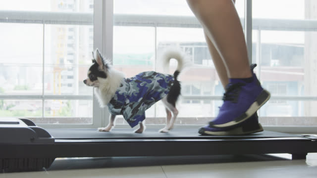 cute chihuahua dog with woman are walking on a treadmill at home - routine stock videos & royalty-free footage
