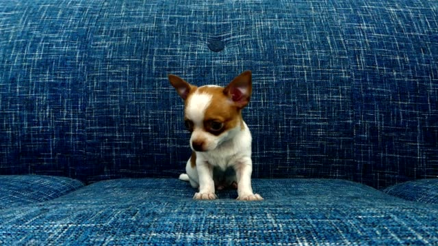 cute chihuahua puppy - blue dog stock videos & royalty-free footage