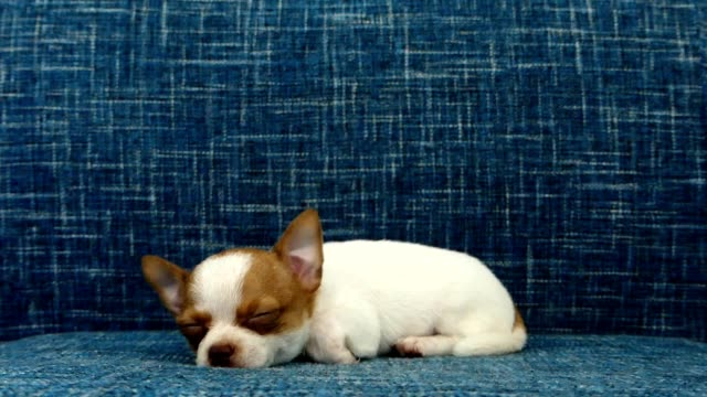 cute chihuahua puppy - waking up stock videos and b-roll footage
