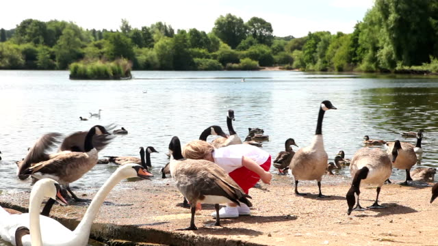Cute child feeding ducks, swans and Canadian geese by lake