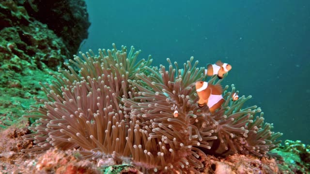 cute clownfish family in sea anemone - symbiotic relationship stock videos & royalty-free footage