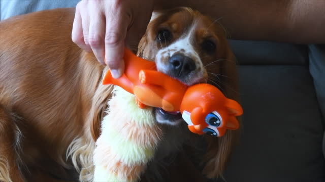 cute cocker spaniel dog playing with an orange plastic toy - spaniel stock videos and b-roll footage