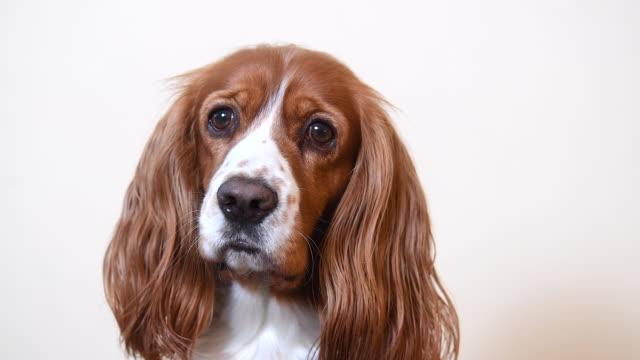vídeos de stock e filmes b-roll de cute cocker spaniel dog portrait - studio shot
