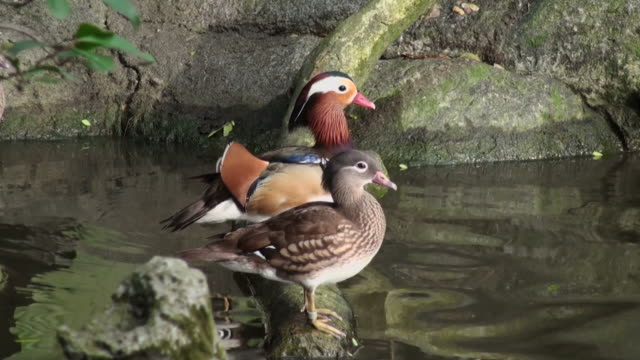 Cute couple of mandarin ducks