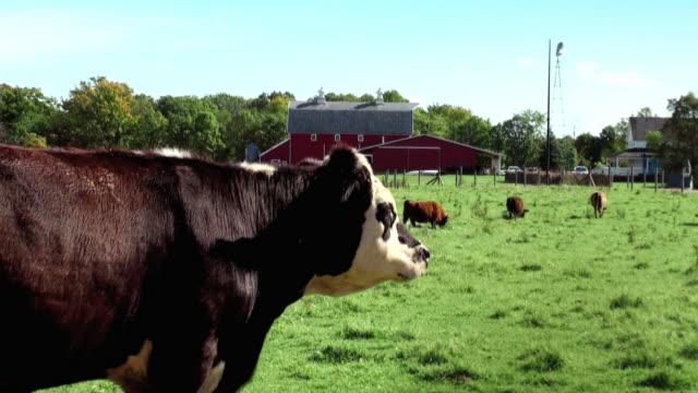Cute Curious Cow