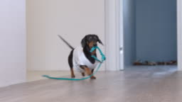 Cute dachshund dog in a white T-shirt with print bringing a blue leash from the room, hinting to the owners that he wanting to go for a walk, barking and wagging his tail.