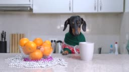 Cute dachshund dog in warm knitted Christmas sweater drinks water or hot warming beverage from mug on table, bowl with juicy ripe tangerines nearby.