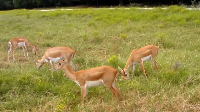 vídeos de stock, filmes e b-roll de linda deers - grupo mediano de animales
