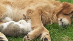 HD DOLLY: Cute Dog and Kitten Resting Together