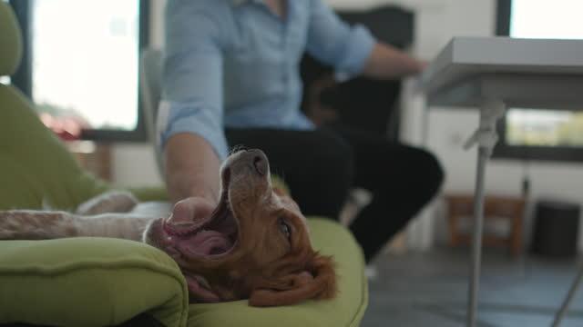 vídeos y material grabado en eventos de stock de lindo perro acostado en la silla y mirando a la cámara mientras el dueño de la mascota sentado en la mesa y trabajando desde casa - adulto de mediana edad