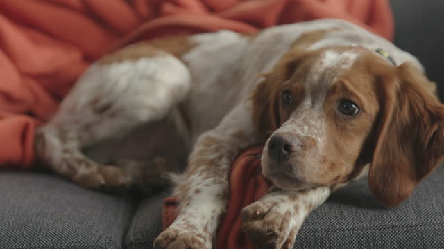 cute dog lying on sofa in living room on blanket and looking away - collar stock videos & royalty-free footage