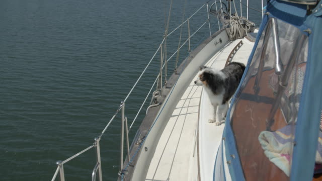 stockvideo's en b-roll-footage met cute dog on a sailboat - australische herder