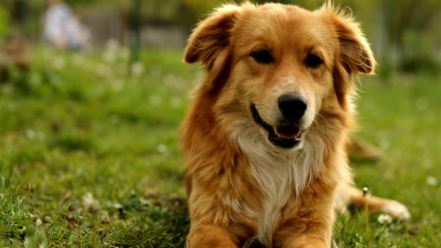 cute dog playing in grass - loyalty stock videos & royalty-free footage