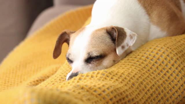 cute dog resting in owner lap at home during covid-19 quarantine. - sleeping点の映像素材/bロール