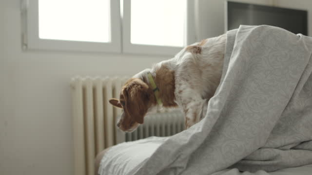 cute dog standing on bed covered with blanket - collar stock videos & royalty-free footage