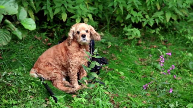 vídeos y material grabado en eventos de stock de lindo perro girando su cabeza hacia la cámara - perro cazador