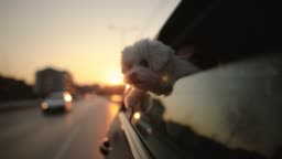 Cute dog with enjoying car ride on city streets at beautiful sunset