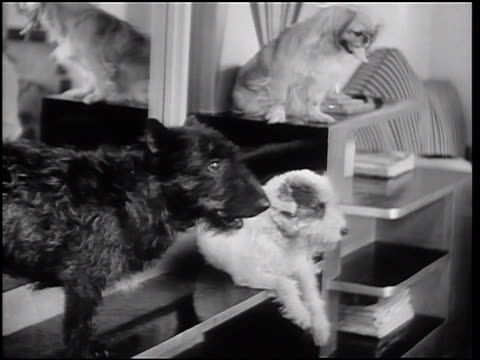 B/W 1933 3 cute dogs sitting near mirror in pet beauty salon / Hollywood, California