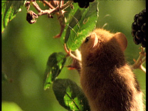 cute dormouse clambers on brambles, uk - brambleberry stock videos & royalty-free footage