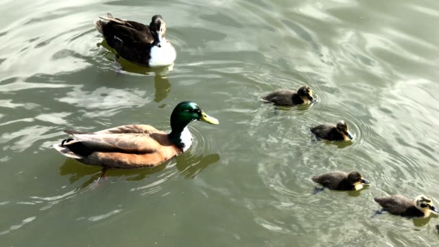 cute ducklings swimming with the mother mallard - water bird stock videos & royalty-free footage