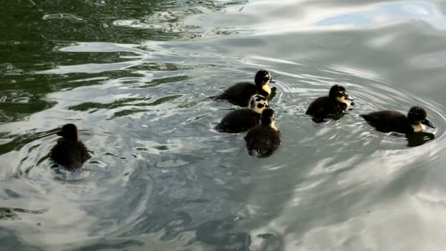 Cute ducklings swimming with the mother mallard