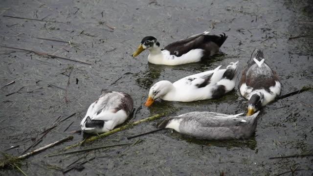 vídeos y material grabado en eventos de stock de patos lindos en busca de comida en la orilla del lago en invierno - small group of animals