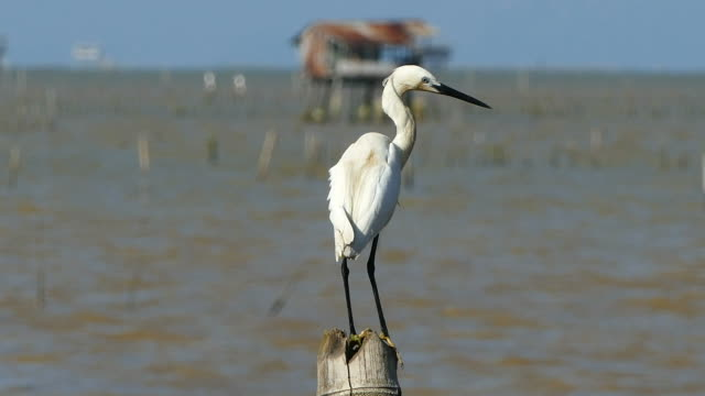 cute egret in the sea - bird hunting stock videos & royalty-free footage