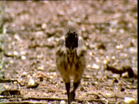 cute emu chick runs towards camera in heat haze, victoria, australia - emu stock videos & royalty-free footage