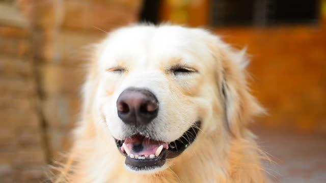 vídeos y material grabado en eventos de stock de linda cara perro labrador dorado - oreja animal