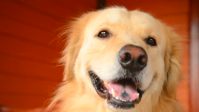 cute face golden retriever dog - golden retriever stock videos and b-roll footage